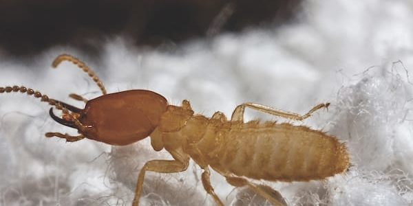 Termites and health risks