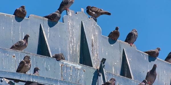 bird removal dallas